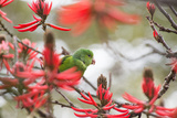 A Plain Parakeet  Brotogeris Tirica  Perching in a Coral Tree in Ibirapuera Park