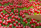 A Woman Reaching into a Mass of Red Tulips with White Edges