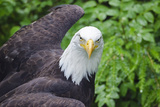 Captive Bald Eagle at the Sitka Raptor Recovery Center