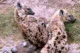 A Pair of Hyena Cubs Curled Up for a Nap