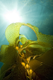 A Kelp Stem