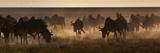 A Herd of Blue Wildebeests  Connochaetes Taurinus  Kicking Up Dust