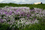 Purple and White Flowers Along a Roadside on the Gaspe Peninsula