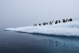 Gentoo Penguins Gather on Ice