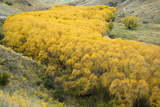Cottonwood Trees in Autumn Along the Lindis River