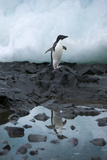 Portrait of an Adelie Penguin Reflected in a Puddle of Water