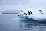 Gentoo Penguins Jump Off of the Ice into the Water Near a Cruise Ship