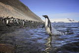 An Adelie Penguin Emerges from the Ocean