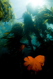 Garibaldi Fish Swim in a Bed of Kelp