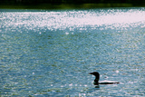A Common Loon  Gavia Immer  Swimming in a Lake Shimmering with Reflections of Sunlight