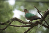A Common Emerald Dove  Chalcophaps Indica  at the Healesville Sanctuary