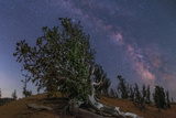 The Milky Way over an Ancient Twisted Bristlecone Pine Forest the Trees Live Up to 5 000 Years
