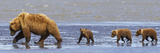 Brown Bear Sow and Her Three Cubs Walking on a Beach at Lake Clarke National Park