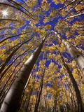 Autumn Aspen Trees in Maroon Bells Snowmass Wilderness Area  Colorado