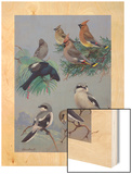 Painting of Songbirds Including Shrikes  Waxwings  and Phainopeplas