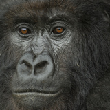 Portrait of a Mountain Gorilla from the Umubano Group