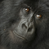 Portrait of a Mountain Gorilla from the Hirwa Group