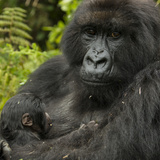 A Mother Mountain Gorilla and Her Child  from the Umubano Group