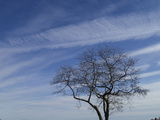 A White Oak and High Altitude Cirrus Clouds