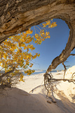 Cottonwood Tree with Fall Color in White Sands National Monument