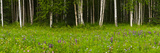 Scenic View of a Birch Forest and Lupine Meadow  Eagle River Valley  Chugach State Park  Alaska