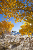 Cottonwood Trees with Fall Color in White Sands National Monument