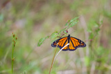 A Monarch Butterfly  Danaus Plexippus  Resting on a Small Weed