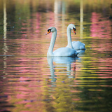 Two Swans Float on a Colorful Reflective Lake