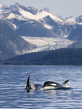 Pod of Orca Whales Surfacing