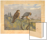 A Painting of an Adult Male and Immature Female Pigeon Hawk