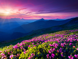 Magic Pink Rhododendron Flowers on Summer Mountain Dramatic Overcast Sky Carpathian  Ukraine  Eur