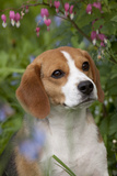 Portrait of Beagle Hound in Dandelions