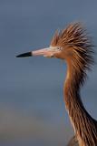 Portrait of Reddish Egret (Egretta Rufescens)