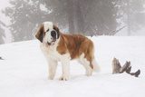 Saint Bernard in Snow by Coniferous Trees  Foggy Mountains of Southern California  USA