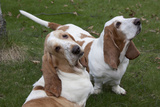 Pair of -Red and White- Basset Hounds on Lawn  Hampshire  Illinois  USA