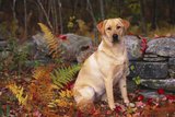 Yellow Labrador Retriever Sitting Among Ferns by Stone Wall  Connecticut  USA