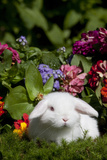 White Holland Lop Rabbit on Club Moss with Background of Summer Flowers  Torrington