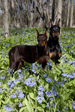 Pair of Doberman Pinschers (Female L