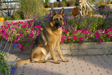 German Shepherd Dog (Female) in Early Autumn Flowers  Geneva  Illinois  USA