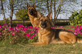 German Shepherd Dogs (Female) in Early Autumn Flowers  Geneva