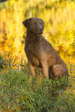 Chesapeake Bay Retriever Retrieving at the Edge of Pond with Autumn Leaf Reflections  Harrisville