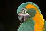 Blue-Throated Macaw (Ara Glaucongularis)