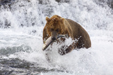 Grizzly Bear (Ursus Arctos) with Salmon in Mcneil River  Alaska  USA