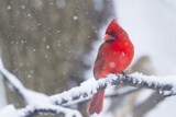 Northern Cardinal (Cardinalis Cardinalis) in Snow Storm  St Charles  Illinois  USA