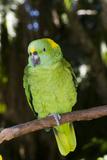 Yellow-Naped Amazon Parrot (Amazona Auropalliata)