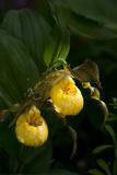 Large Yellow Lady'S-Slipper (Cypripedium Parviflorum)