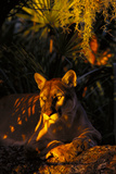 Florida Panther Lying on Oak Limb Underneath Spanish Moss and Backdrop of Palmetto