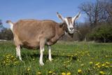 Toggenburg Goat (Female)