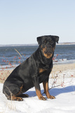Rottweiler on Snowy Upper Beach by a Long Island Sound Beach  Madison  Connecticut  USA