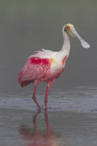 Adult Roseate Spoonbill (Platalea Ajaja) in Breeding Plumage
